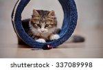 Stock photo domestic nice multi colored kitten kitten plays on a floor 337089998