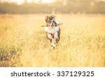 Stock photo beautiful border collie running in the grass concept about animals and dogs 337129325