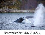 Humpback Whale Safari In The...