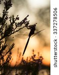 Small photo of Moorland hawker, Aeshna juncea resting on heather, sunset in the background