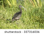 Glossy Ibis At Ritch Grissom...