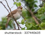 nightingale  luscinia... | Shutterstock . vector #337440635