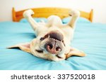 Stock photo dog is lying on back on the bed selective focus 337520018