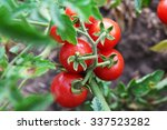 Ripe Red Tomatoes Ready To Pic...