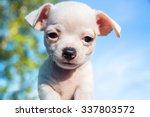 Cute White Chihuahua Puppy...