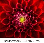 red chrysanthemum flower close