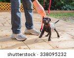 a cute black staffordshire bull ... | Shutterstock . vector #338095232