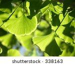 ginkgo leaves | Shutterstock . vector #338163