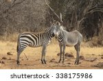 Two Species Of Zebra  Burchell...