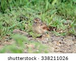 Small photo of Oriental Skylark; Alauda gulgula