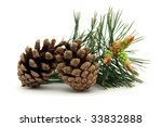 Pine Cones With Conifer Leaf O...