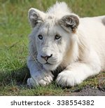 White Lion  South Africa.
