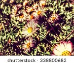 daisies growing in a lawn | Shutterstock . vector #338800682