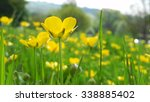 Close Up Of Buttercup In Field...