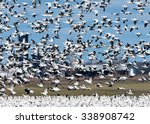 Panicked Snow Geese Taking Off...