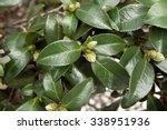 camellia's green buds camellia