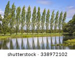 Row Of Poplar Trees  With A...