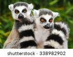 Two Adult Lemur Katta  Lemur...
