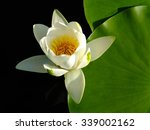 Water Lilly On Water Surface