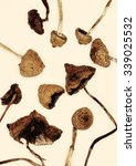 Small photo of Psilocybe semilanceata 'Liberty Cap'