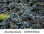 Grapes For Wine  Barbera  ...