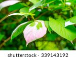 Small photo of green and pink actinidia leafs