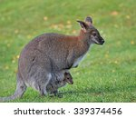 Red Necked Wallaby  Macropus...