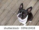 Boston Terrier On Wooden Planks ...