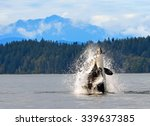 Dramatic photo of orca breaching  in discovery channel with a mountain backdrop , near  campbell river,  british columbia,  with a captured  harbor porpoise in its mouth - stock photo