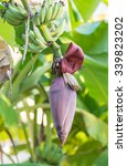 Banana Flowers Hanging On A...
