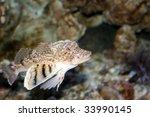 northern sea robin  prionotus... | Shutterstock . vector #33990145