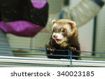 Angry And Curious Cub Ferret...