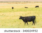 Beef Cattle In The  Grass Fiel...