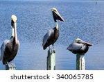 Brown Pelicans On Pilings       ...