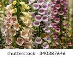 Foxglove Flower Varieties