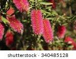 Flowering Pink Bottlebrush