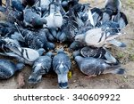A Lot Of Pigeons Eating...