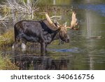 Small photo of Large Bull Moose (Alces alces) Feeding on Water Lilies Near the Shore of a Lake in Autumn - Algonquin Provincial Park, Ontario, Caanda