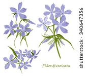 set of flowers phlox divaricata ... | Shutterstock .eps vector #340647356