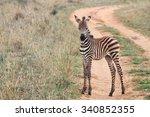 Stock photo baby zebra in tanzania 340852355