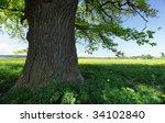 Old Oak On A  Meadow