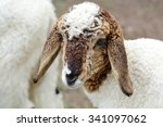 Close Up Head Of Old Sheep In...