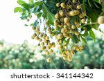 longan orchards   tropical... | Shutterstock . vector #341144342