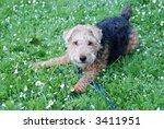 Welsh Terrier Sitting In Flowers