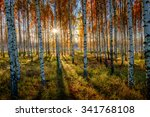 A Backlit Birch Forest Capture...