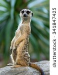 meerkat or suricate in the zoo  ... | Shutterstock . vector #341847425