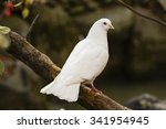 white dove sitting on a tree... | Shutterstock . vector #341954945
