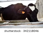 Chianina Cow Drinking Water At...