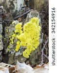 Small photo of Fuligo septica is a species of plasmodial slime mold, and a member of the Myxomycetes class.