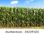 Cornfield During Sunny Day With ...